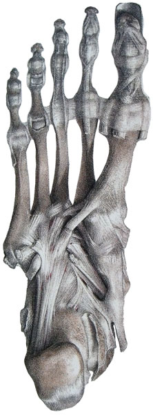 Ligament_plantaire